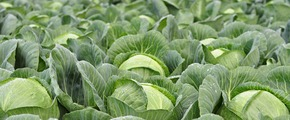 Selenium enriched Finnish cabbage