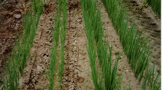 phosphorus deficiency in onions