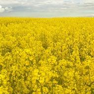 Oilseed Rape Nutrient Uptake