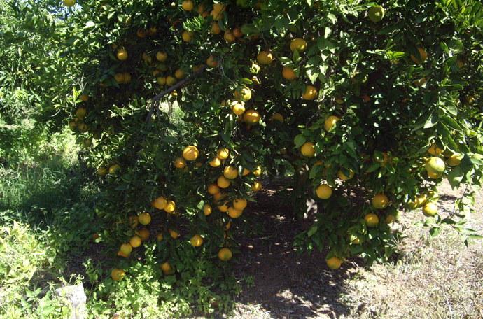 如何提高柑橘结果量