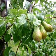 Increasing Pip Fruit Firmness
