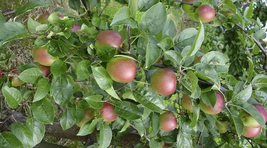 Nutrición vegetal frutales de pepita