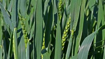 Hvete i god vekst