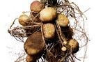 Gödslingsråd för potatis