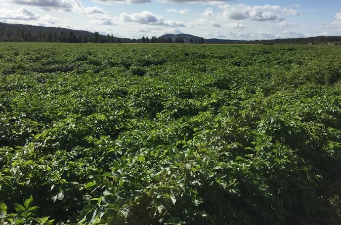 Врожайність картоплі