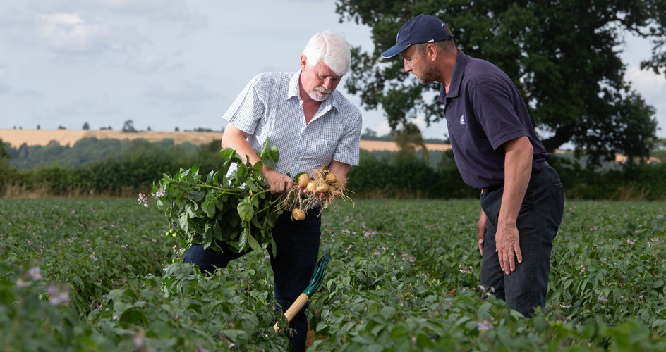 Increase potato yield with better phosphate management