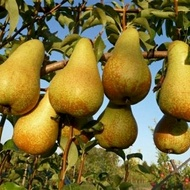 Pear Crop Programme