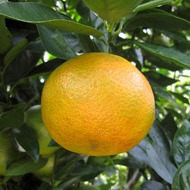Orange Hanging from a Tree