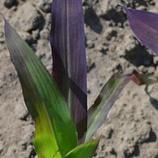 Cor Púrpura nas Folhas de Milho