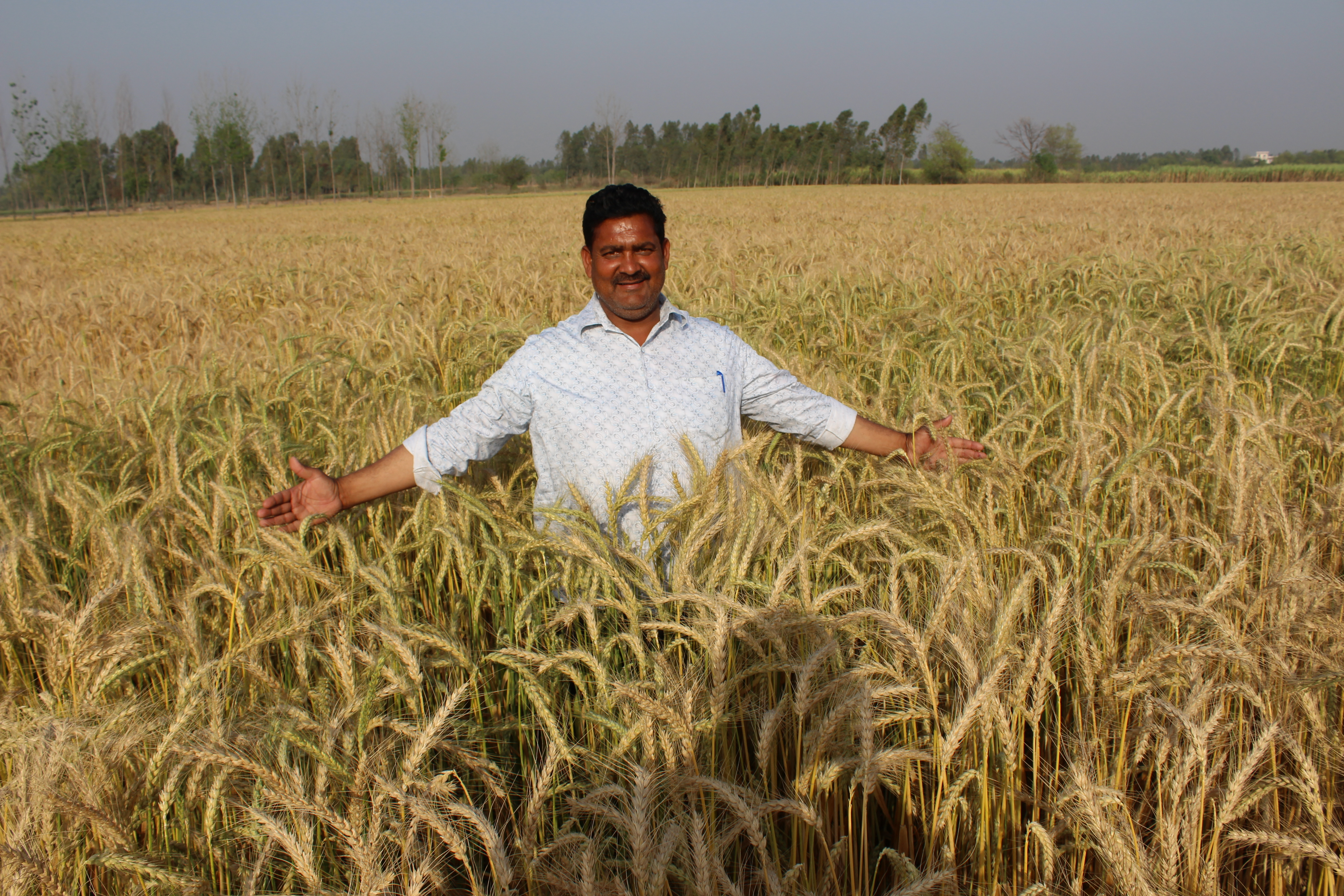 How to increase wheat yield