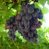 Increasing Wine Grape Berry Set and Weight