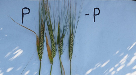 Mitä hyötyä fosforista on kasveille ja eläimille?