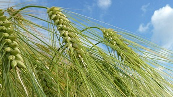 Barley Crop Nutrition