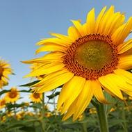 Програма живлення соняшнику