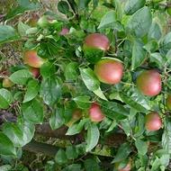 Increasing Pome Fruit Number