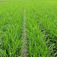 Програма живлення рису
