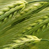 Barley Liquid Fertilizer Crop Nutrition Programme