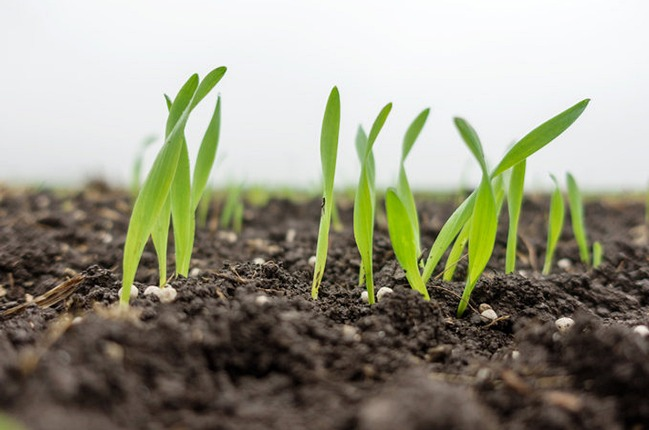 Young winter barley shoots and fertilizer granules