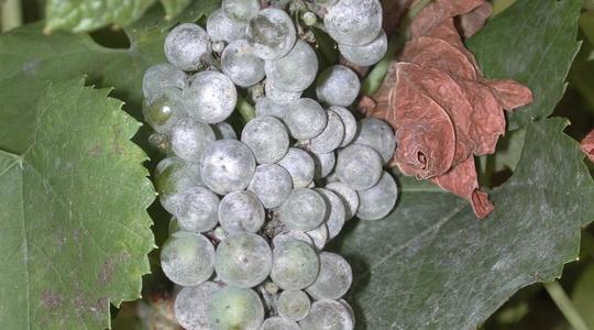 Wine grape health