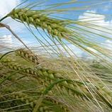 Ympäristökorvausjärjestelmä viljoille, öljykasveille ja palkokasveille