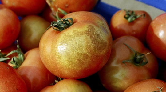 Influencing tomato quality