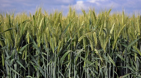 Wheat market requirements