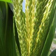 Incrementar el nivel energético del maíz forrajero
