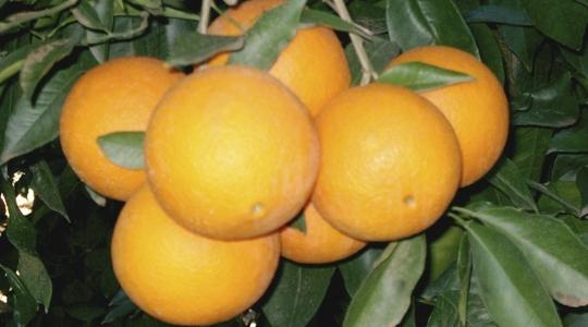 柑橘营养概述