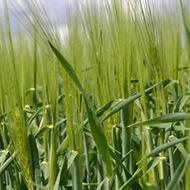 W Wheat Thumbnail