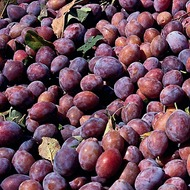 Plum Crop Nutrition Programme