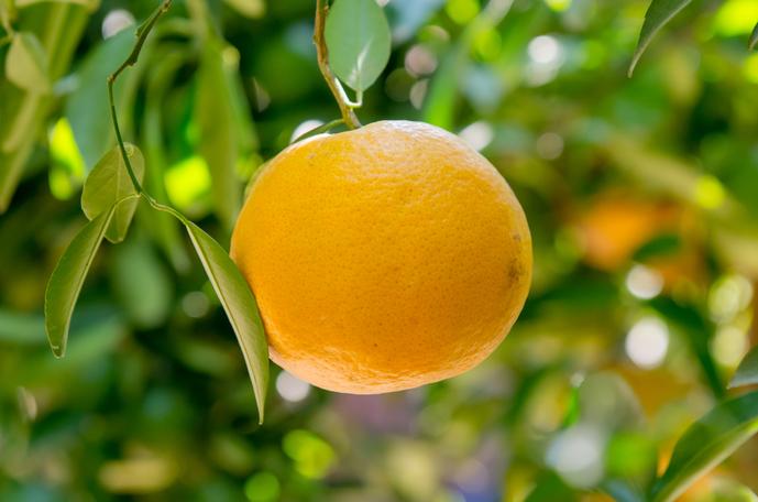 Naranja común