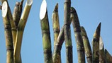 Influencing Brix and Pol Levels in Sugarcane