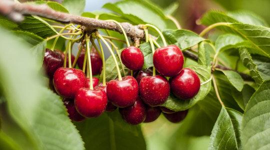 Кісточкові фрукти