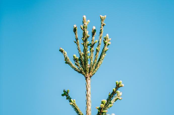 Boorin puutoksessa puun latvasilmu vaurioituu tai kuolee kokonaan.