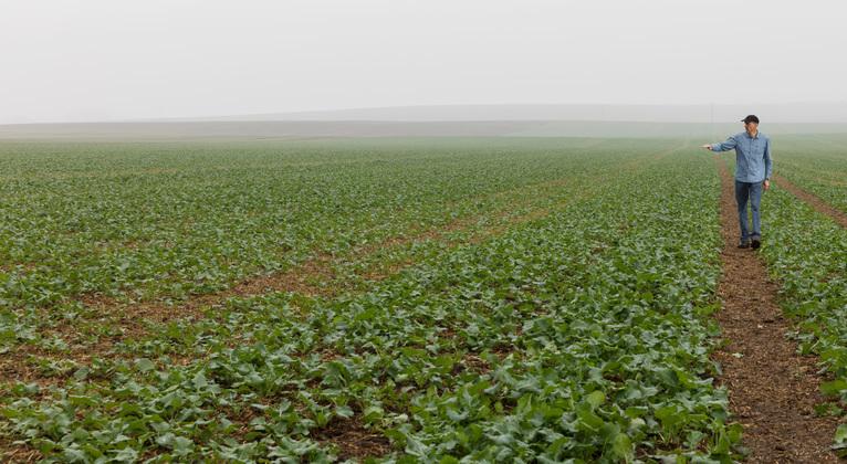Fält med höstraps