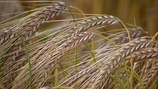 Influencing Barley Grain Size and Thousand Grain Weight