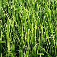 Newly Sown Grass
