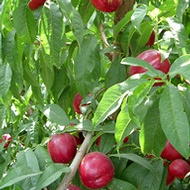 Increasing Stone Fruit Number