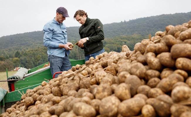 Cómo aumentar la producción de patata