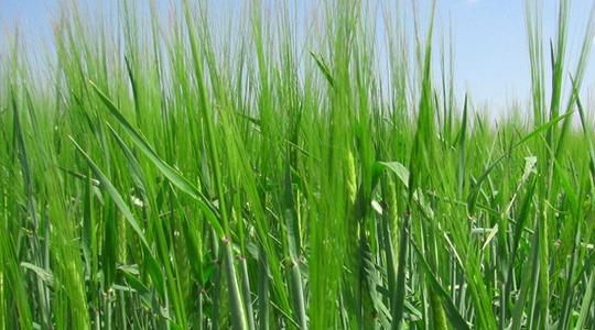 How to increase barley tiller numbers