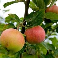 Managing the Sugar/Acid Ratio in Pome Fruit