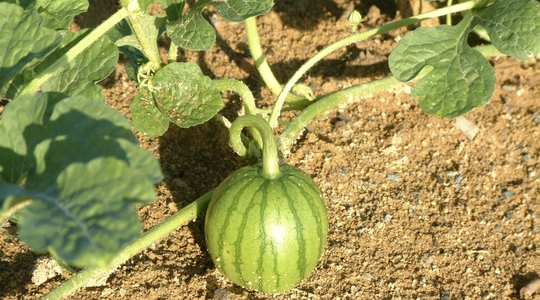 Increasing melon fruit set and weight