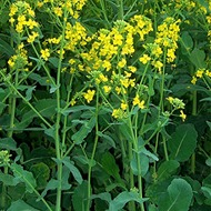 Forage Rape Fertilizer Programme