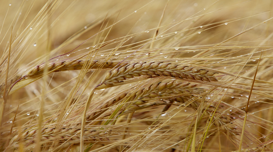 Barley optimal rate and timing of nutrients