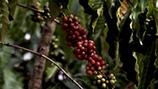 Frutos maduros del café