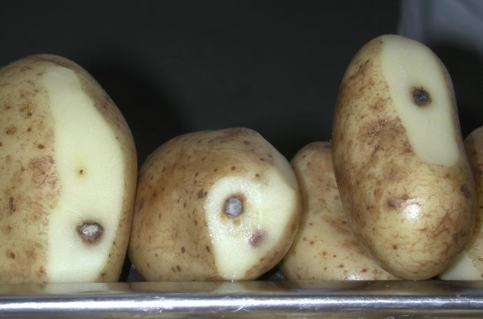 Kartupeļu veselība