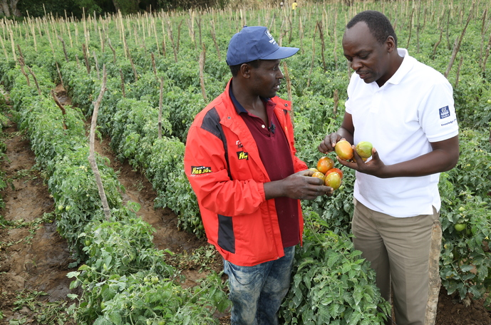 How to increase tomato yield