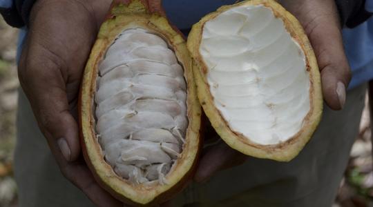 Influencing Cocoa Health