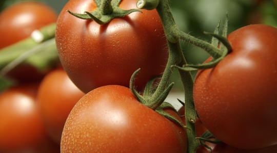 Increasing Tomato Yield | Yara United States