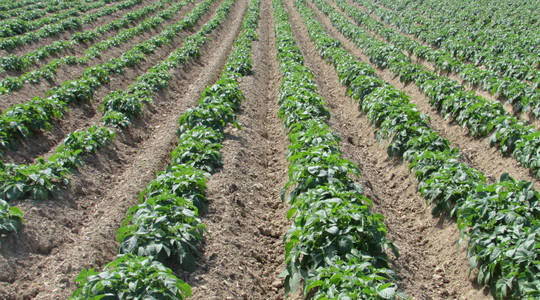 Nährstoffversorgung bei Kartoffeln